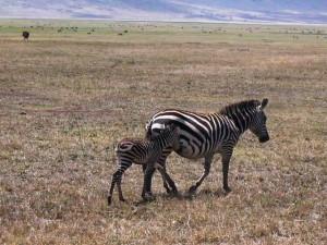 zebrengorongoro